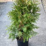 Arborvitae Green Giant Evergreen Shrub