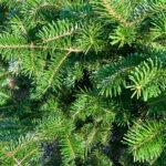 Canaan Fir Tree closeup