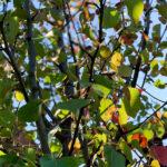 Chanticleer Flowering Pear Tree