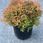 Fire Chief Arborvitae Thuja Shrub