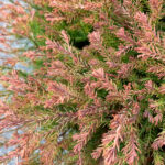 Fire Chief Arborvitae Thuja Shrub close up