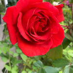Fragrant Cloud Hybrid Tea Rose Bushes
