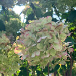 Little Lime Hydrangea Flowering