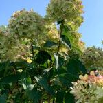 Little Lime Hydrangea Flowering Shrub