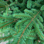 Norway Spruce Tree closeup