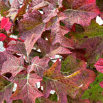 Oak Leaf Hydrangea Shrub Ruby Slippers Color