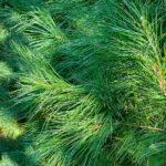 White Pine Tree closeup