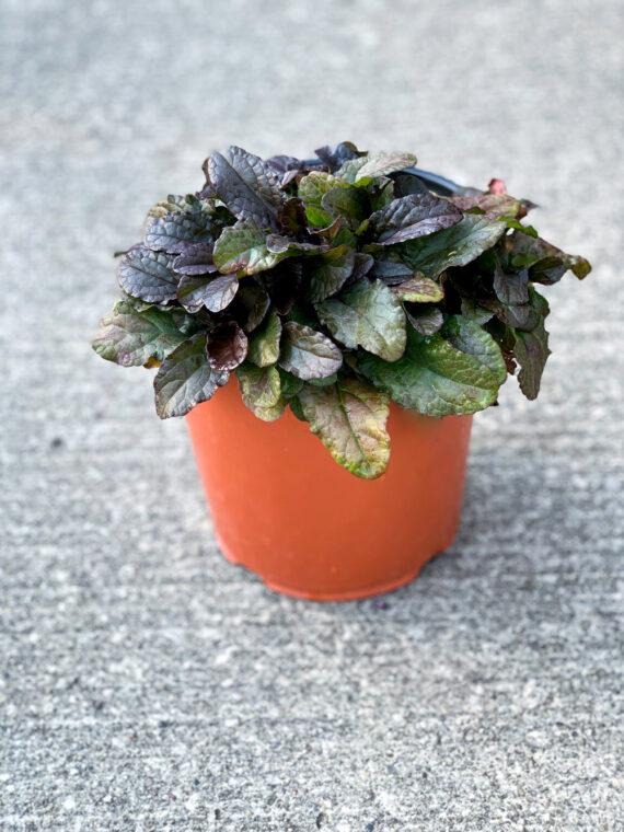 Ajuga Perennial