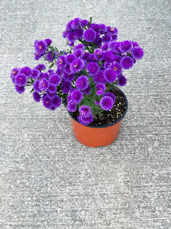 Aster Victoria Fanny Purple