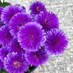 Aster Victoria Fanny Purple closeup