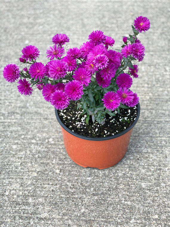 Aster 'Victoria Pink Fanny'