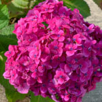 Bloomstruck Hydrangea closeup