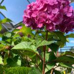 Bloomstruck Hydrangea shrub