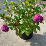 Bloomstruck Hydrangea shrub potted