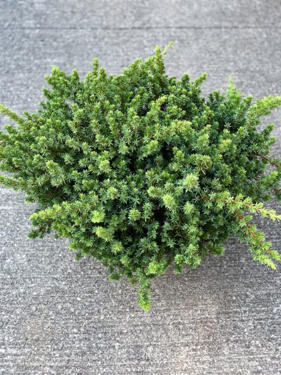 Blue Pacific Juniper Evergreen Shrub