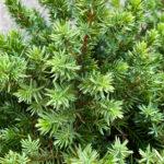 Blue Pacific Juniper Evergreen Shrub closup