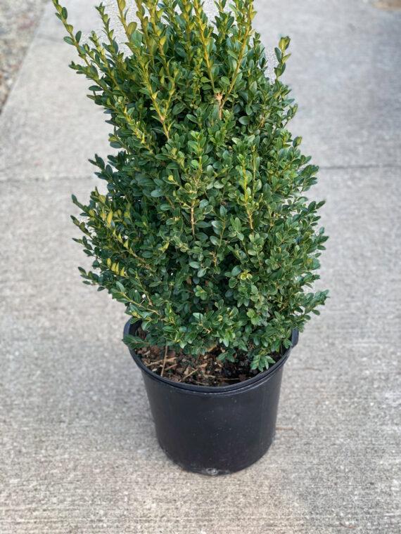 Buxus Boxwood Green Mountain Evergreen Shrub