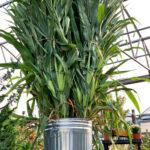 Corn Stalk Bundle