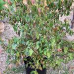 Dogwood Cornus Kousa Chinensis multistem