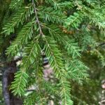 Hemlock Tree closeup