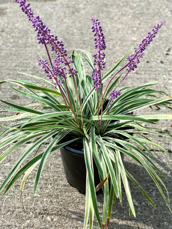Liriope Variegated Grass