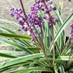 Liriope Variegated Grass closeup