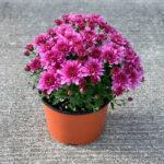 Mum Fonti Dark Pink
