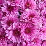 Mum Fonti Dark Pink closeup
