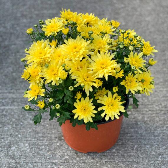 Mum Fonti Yellow