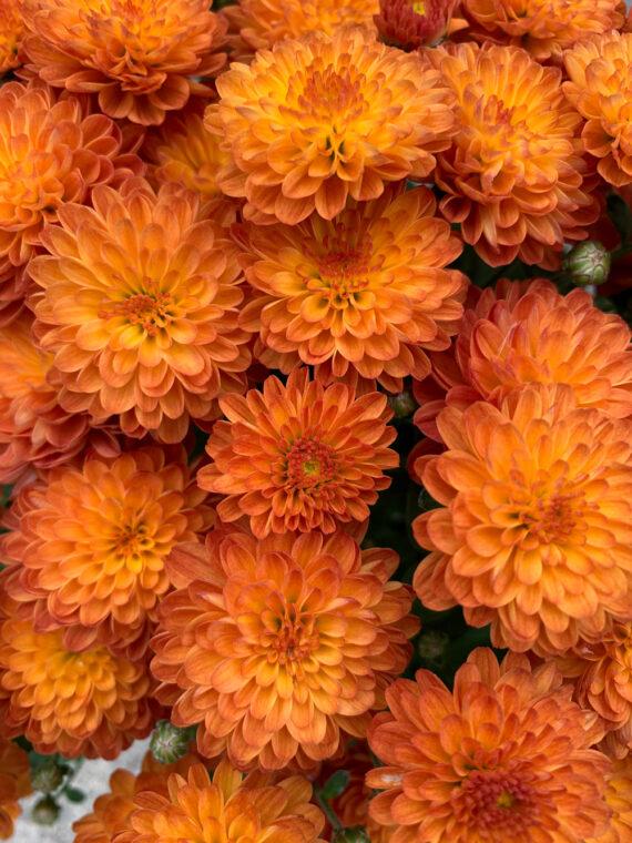 Mum Gigi Orange closeup