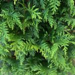 Northern Spire Arborvitae Shrub Closeup