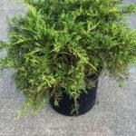 Saybrook Gold Juniper Evergreen Shrub