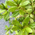 Azalea Cascade closeup