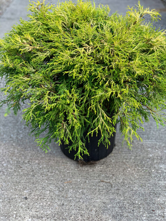 Gold Thread Cypress Evergreen Shrub