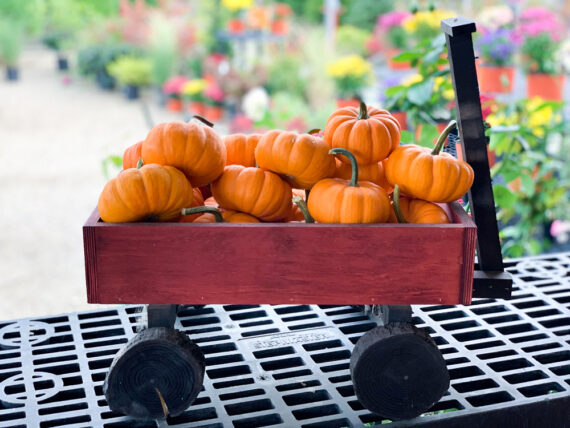 Mini Pumpkins Fall Decor