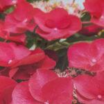 Hydrangea Cherry Explosion