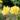 oso_easy_lemon_zest_rose-2
