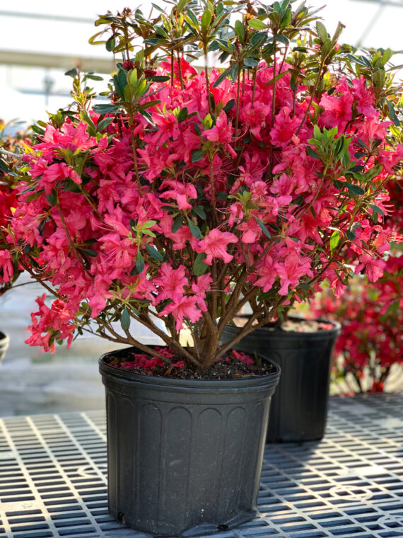 Azalea Rose Pink Shrub
