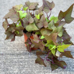 Sweet Potato Vine Bronze