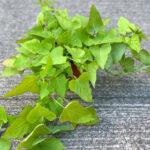 Sweet Potato Vine Green
