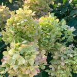 Hydrangea Limelight Tree