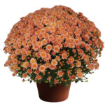 Mum Chelsey™ Coral