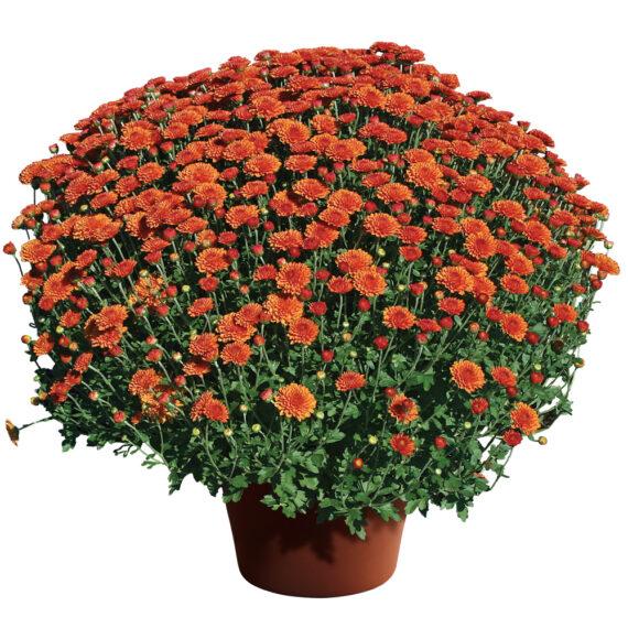 Mum Hailey™ Orange