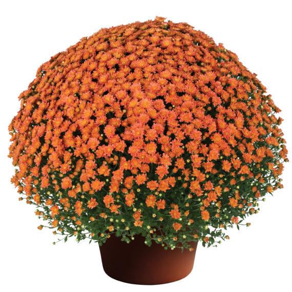 Mum Jacqueline™ Orange Fusion