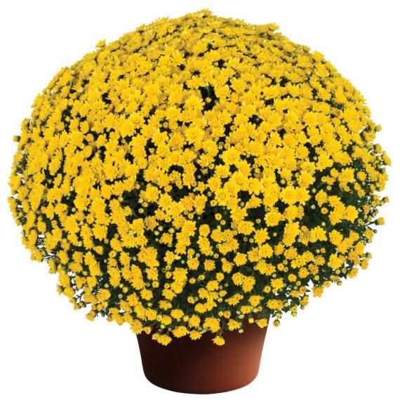 Mum Jacqueline™ Yellow